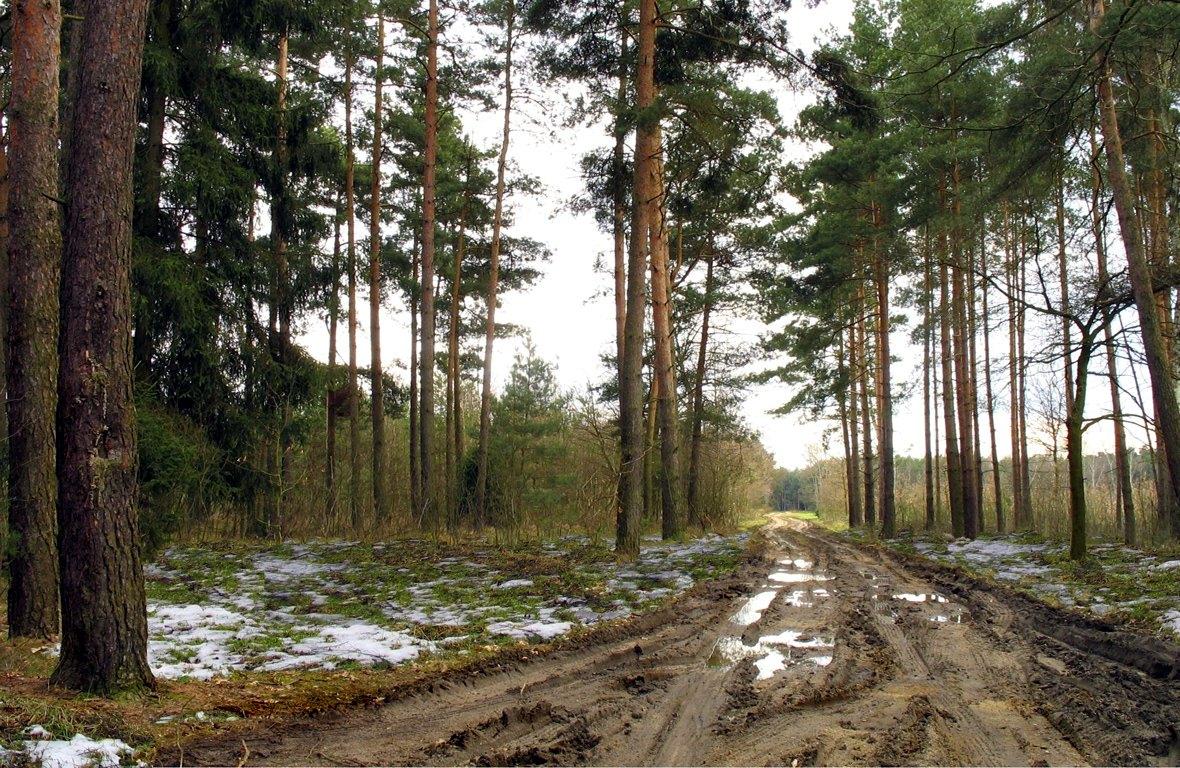 Весенняя дорога среди елей в лесу